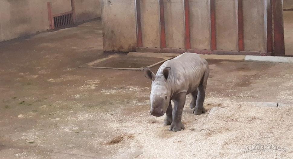 Vi fick se noshörningsungen Savannah!